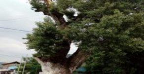 Мълния удари вековния Кавак в Барутин
