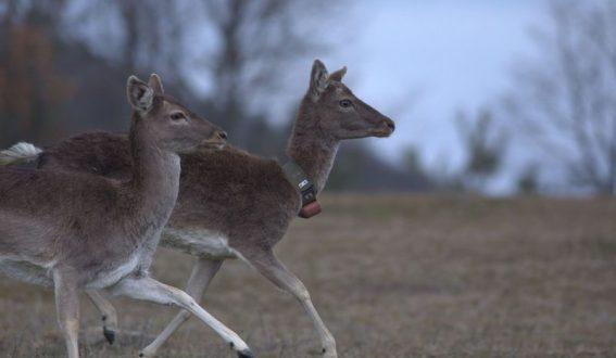 Пуснаха елени лопатари на свобода в Родопите