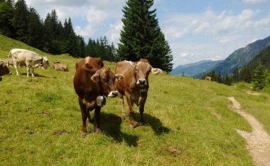 Откраднаха девет крави от пасище край Мугла