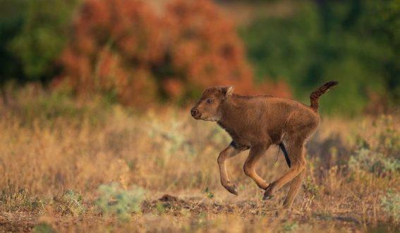 Бизонче се роди на свобода в Родопите