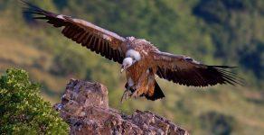 Рекорден брой белоглави лешояди в Родопите