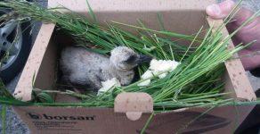 Върнаха паднало щъркелче обратно в гнездото му в родопското село Борино